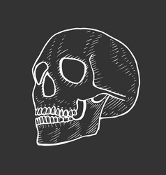 skeleton of the human head vector image