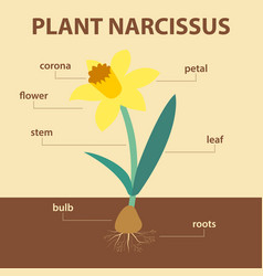 diagram showing parts of narcissus whole plant vector image vector image