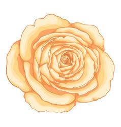 beautiful rose isolated on white background vector image