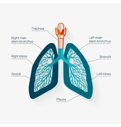 Flat design icon of human lungs vector image