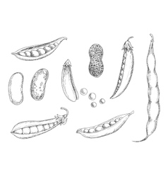 Sketches of peanut pea pods and beans vector image