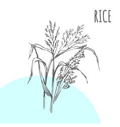 Rice sketch botanical plant vector