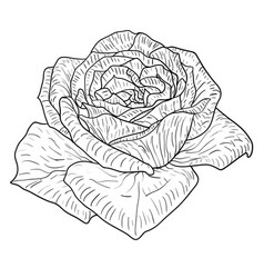 Beautiful monochrome sketch black and white rose vector