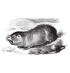 Cape mole rat vintage vector