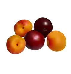 Apricots and plums isolated on white vector