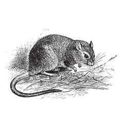 Long fronted gerbil vintage vector