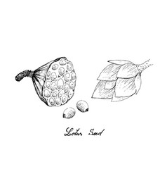 Hand drawn lotus pod with seeds vector