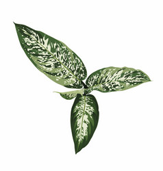 Dieffenbachia indoor plant isolated on white vector