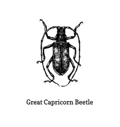 great capricorn beetle drawn vector image