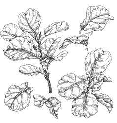 Ficus branches and leaves sketch vector