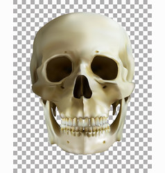 Human skull on transparent background realistic vector