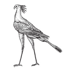 vintage engraving of a single secretary bird vector image