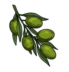 olive branch in engraving style design element vector image