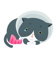 fluffy cat injury splinting leg vector image