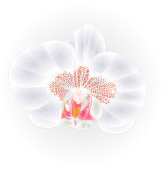 beautiful orchid white flower phalaenopsis vector image
