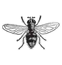 A species of volucella vintage vector