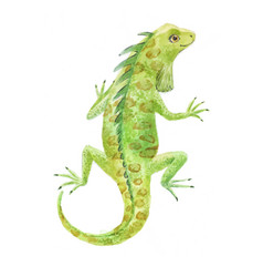 Iguana watercolor vector