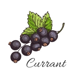 Black currant fruit branch with leaf sketch vector image