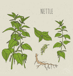 nettle medical botanical isolated vector image vector image