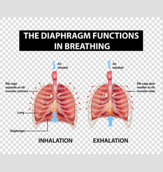 Diagram showing diaphragm functions in breathing vector