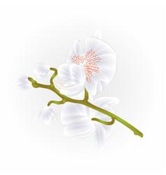 beautiful orchid phalaenopsis stem white vector image