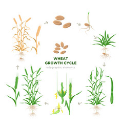 Wheat growing stages life cycle wheat plant vector
