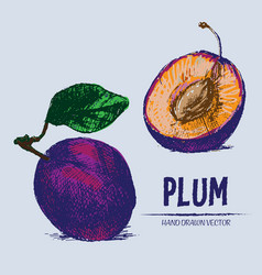 digital detailed color plum hand drawn vector image vector image