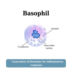 The structure of the basophil vector image