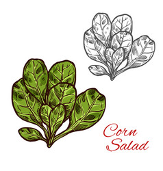 corn salad sketch vegetable icon vector image
