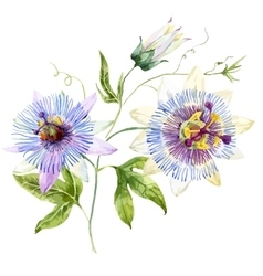Watercolor passion flower vector