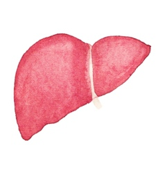 Watercolor realistic human liver on the white vector image