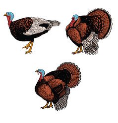 set turkey isolated on white background design vector image