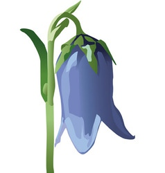 bellflower vector image