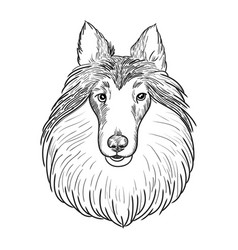 collie face isolated on white background vector image