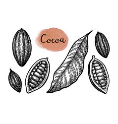 ink sketch of cocoa vector image