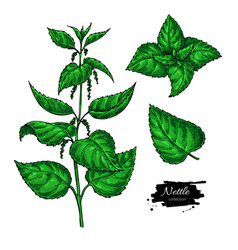 nettle drawing isolated medical plant with vector image