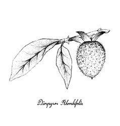 Hand drawn of diospyros rhombifolia on white backg vector