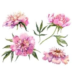 Watercolor peonies vector image