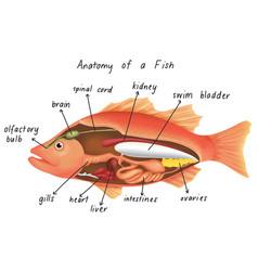 Anatomy a fish vector