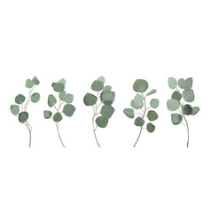 Eucalyptus silver dollar greenery gum tree vector