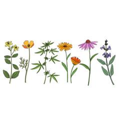 drawing medicinal plants vector image