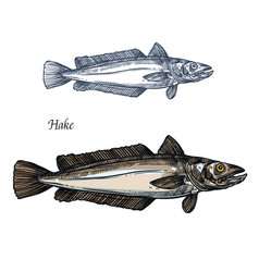 Hake fish seafood isolated sketch for food design vector