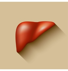 Semi-realistic human liver vector image