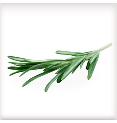 Rosemary vector image vector image
