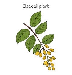 Black oil plant or intellect tree celastrus vector