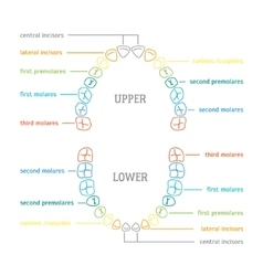 Human Tooth Thin Line Color Anatomy Chart vector