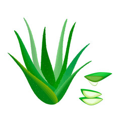 aloe vera whole and slices juice drop herbal vector image
