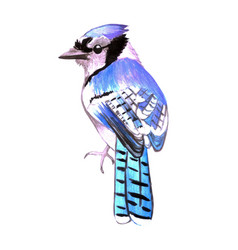 Blue jay or cyanocitta cristata isolated on white vector