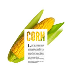 corn ear isolated on white with text block vector image