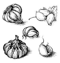 hand drawn set of garlic with parsley vector image